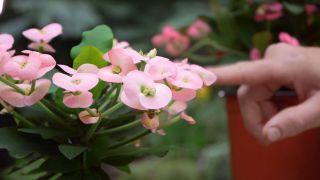La euphorbia milii una planta con flor todo el año - Cuidados