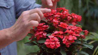 La euphorbia milii una planta con flor todo el año -  Variedad compacta