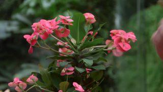 La euphorbia milii una planta con flor todo el año -  Variedad rosa