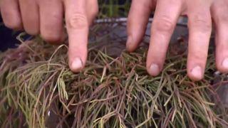 Variedades de rhipsalis - Cuidados