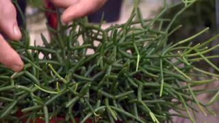 Variedades de rhipsalis - Cactus sin pinchos