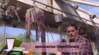 Cuidados del aporocactus - Aporocactus flagelliformis