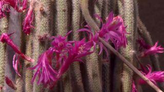 Cuidados del aporocactus - Floración
