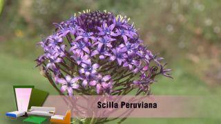 La scilla peruviana - Detalle