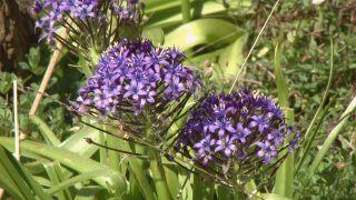 La scilla peruviana - Flor