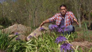La scilla peruviana - Plantación