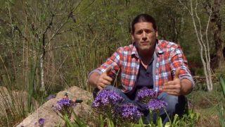 La scilla peruviana - Plantas bulbosas
