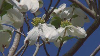 El cornejo florido - Brácteas