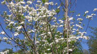 El cornejo florido - Características