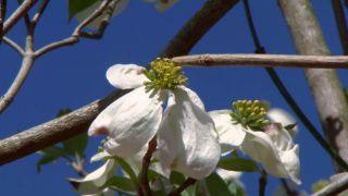 El cornejo florido - Flores