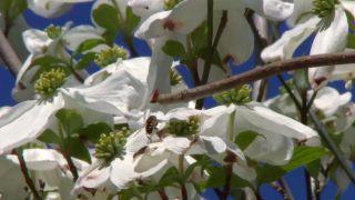 El cornejo florido - Insectos polinizadores