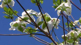 El cornejo florido - Varas o ramas