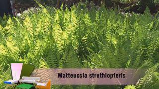 El helecho matteuccia struthiopteris - Detalle