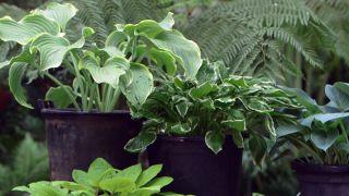 Cinta de cobre para evitar la plaga de babosas y caracoles en hostas y otras plantas - Características de las hostas