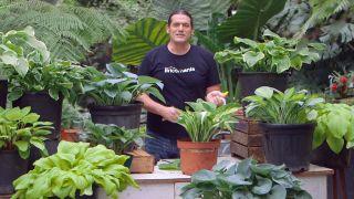 Cinta de cobre para evitar la plaga de babosas y caracoles en hostas y otras plantas - Detalle final