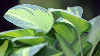 Cinta de cobre para evitar la plaga de babosas y caracoles en hostas y otras plantas - Variedades centro amarillo