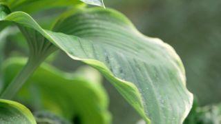 Cinta de cobre para evitar la plaga de babosas y caracoles en hostas y otras plantas - Variedades hoja grande