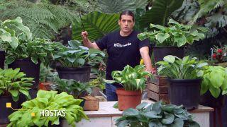 Cinta de cobre para evitar la plaga de babosas y caracoles en hostas y otras plantas - Hostas