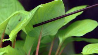 Cinta de cobre para evitar la plaga de babosas y caracoles en hostas y otras plantas - Variedades tallo rojo