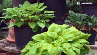 Cinta de cobre para evitar la plaga de babosas y caracoles en hostas y otras plantas - Variedades
