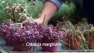 Plantación en macetero vertical - Crassula