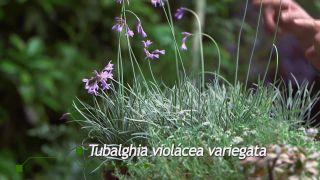 Plantación en macetero vertical - Tubalghia violácea