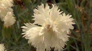 Jardín con clavelinas en tonos blancos - Flor de la Clavelina