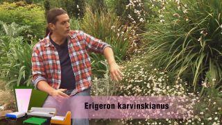 Jardín con clavelinas en tonos blancos - la Libertia o el Erigeron Karvinskianus