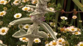 Jardín con clavelinas en tonos blancos - Stachys lanata