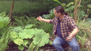 Plantas vivaces de hojas grandes - Astilboides tabularis