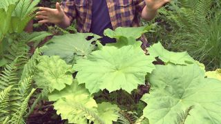 Plantas vivaces de hojas grandes - Astilboides tabularis cuidados