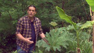 Plantas vivaces de hojas grandes - Gunnera manicata