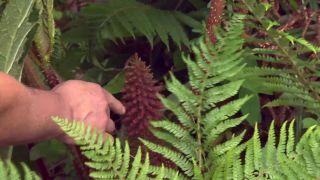 Plantas vivaces de hojas grandes - Gunnera manicata cono floral