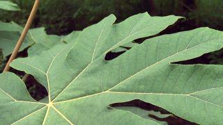 Plantas vivaces de hojas grandes - Tetrapanax papyrifera