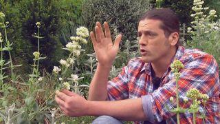 Usar plantas silvestres para el jardín - Centranthus ruber características