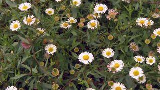 Usar plantas silvestres para el jardín - Erigeron karvinskianus
