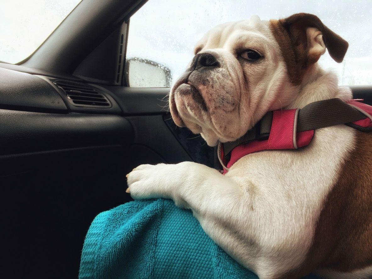 Algunas mascotas no disfrutan viajando
