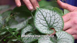 Brunnera macrophyla Jack Frost