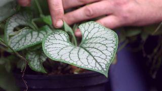 La brunnera y la pulmonaria plantas de sotobosque - Plagas y enfermedades