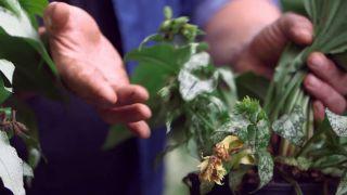 La brunnera y la pulmonaria plantas de sotobosque - Flor