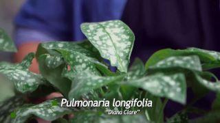 Pulmonaria longifolia Diane Clare