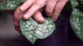 Pulmonaria longifolia Diane Clare - Hojas
