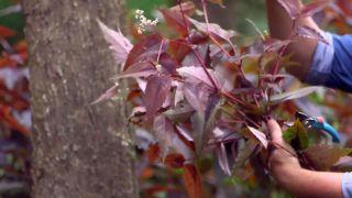 La persicaria microcephala red dragon - Hojas