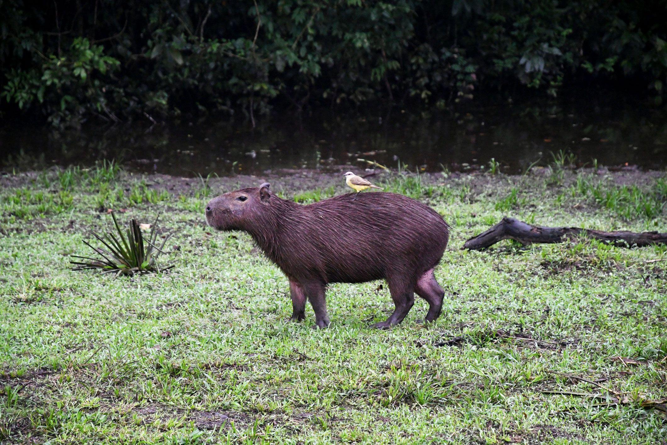 Los carpinchos conviven en paz con otros animales
