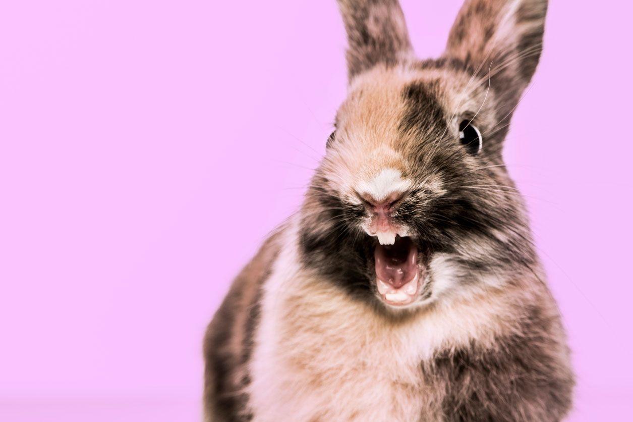 Los conejos poseen 4 dientes superiores y 2 inferiores