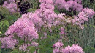 Thalictrum aquilegiifolium o Talictro - Flor