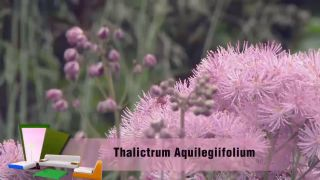 Thalictrum aquilegiifolium o Talictro, planta vivaz