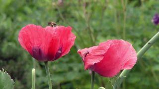 Thalictrum aquilegiifolium o Talictro - Amapola