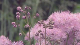 Thalictrum aquilegiifolium o Talictro - Cuidados