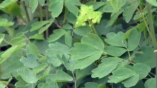 Thalictrum aquilegiifolium o Talictro - Hojas
